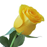 yellow-rose-250x250.jpg